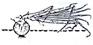 Oignon - Formation de la bulbe