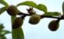 Pêcher - Jeune fruit