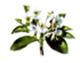 Poire - Pleine floraison