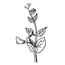Pois - Avant  floraison