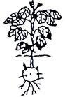 Pomme de terre - Hauteur de la plante : 10 – 20 cm
