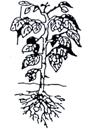 Pomme de terre - Hauteur de la plante : 20 – 30 cm