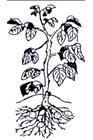 Pomme de terre - Hauteur de la plante : 30 – 40 cm