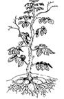 Pomme de terre - Fin du cycle végétatif