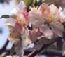 Pommier - F2 (Floraison)
