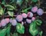 Prunier - Récolte