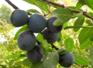 Prunier - Programme nutrionnel