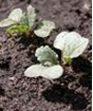 Radis - T1 : 2 à 3 feuilles