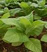 Tabac - Fin floraison