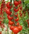 Tomates - Avant  floraison
