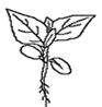 Tournesol - Plantule