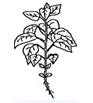 Tournesol - Bouton floral