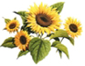 Tournesol - Programme de base