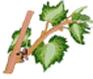Vigne - F : Grappes visibles