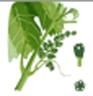 Vigne - H : Boutons Floraux séparés