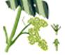 Vigne - I : Floraison