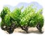 Vigne - Programme nutrionnel
